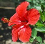 Pianta Ibiscus