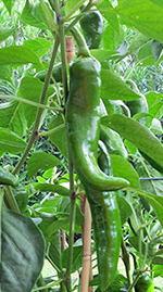 Peperoni Corno Verdi
