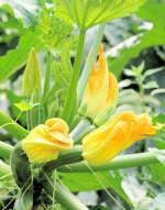 Zucchine Formicola
