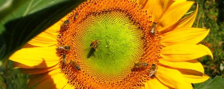 Foto api girasole
